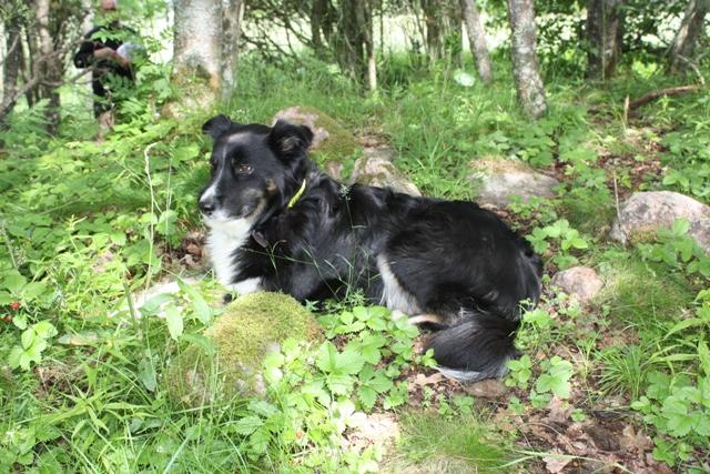 Hunden Fifa i gröngräset